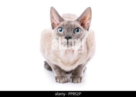 Devon-rex cat close-up portrait on a white background - Stock Photo
