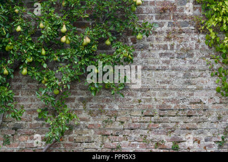 Espalier pear tree growing against a centuries old brick wall and wire trellis with fresh ripening fruit - Green walls and buildings - Stock Photo