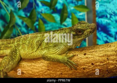 Sailfin lizard on the tree in a forest model. - Stock Photo