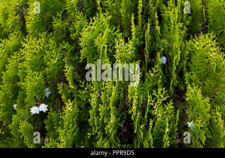 Green hedge of thuja trees. Green hedge of the tui tree. Nature, background. - Stock Photo