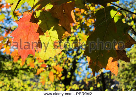 Quercus rubra leaves in Fall, red colored  northern red oak leaves,fall foliage, fall leaves, autumn leaves, autumn foliage, tree branch autumn - Stock Photo