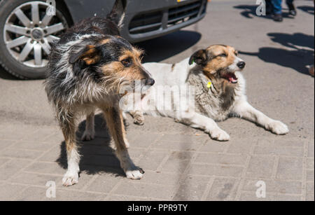 Two homeless dogs on a streen near car. - Stock Photo