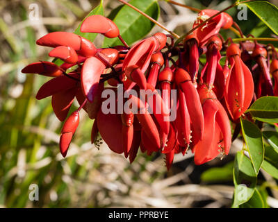 Red, waxy pea flowers of the tender to half hardy cockspur coral tree, Erythrina crista-galli - Stock Photo