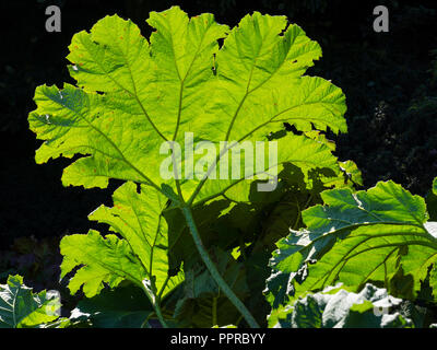 Backlit foliage of the giant leaved marginal aquatic hardy perennial, Gunnera manicata, showing the leaf structure - Stock Photo