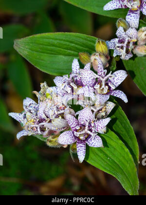 Clusters of purple spotted white flowers of the hardy perennial Japanese toad lily, Tricyrtis hirta - Stock Photo