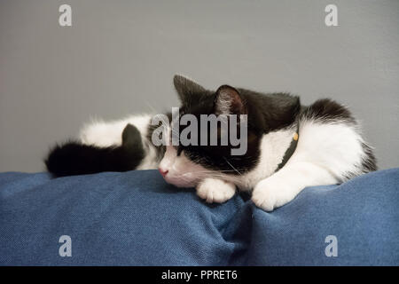 Black and white cat sleeping on top of a blue sofa - face seen from the side