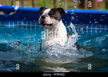 Boston Terrier swimming in the pool - Stock Photo
