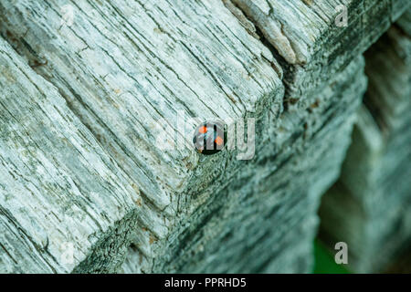 Black with red spots Harlequin Ladybird resting on the edge of a grey textured wooden picnic table - Stock Photo