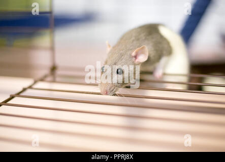 A domesticated pet rat or 'Fancy Rat' peeking out of its cage - Stock Photo
