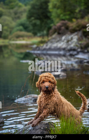 Our cockapoo puppy standing on a rock in Loch Ard in the Trossachs National Park in SCotland - Stock Photo
