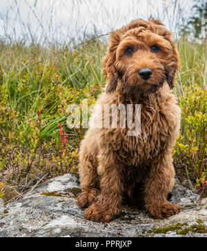 Our cockapoo puppy sitting patiently waiting to get feed on a rock in the hills of Scotland - Stock Photo