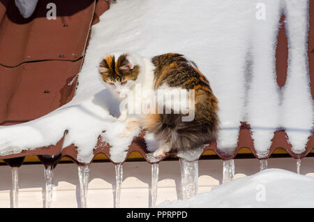 Beautiful calico cat walking on snowy roof of the house Kitty sitting on the roof top on a sunny christmas day - Stock Photo