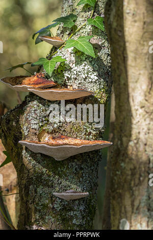 Tiers of bracket or shelf fungi like oyster fungus whith whitish gills on underside and tan or brown orangey top surface. Grows in tiers on trunks. - Stock Photo
