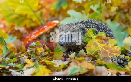 Hedgehog, wild, native, European hedgehog in colourful Autumn leaves, facing left.  Scientific name: Erinaceus europaeus.  Horizontal. - Stock Photo
