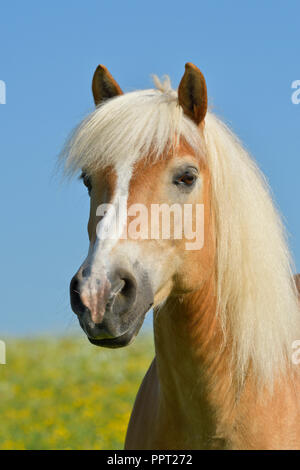 Haflinger horse - Stock Photo