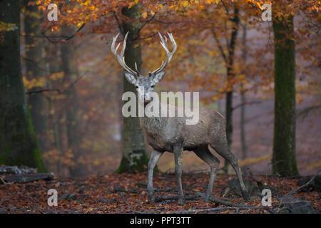 Rothirsch (Cervus elaphus), Brunft, Rotwild, Herbst, Laubwald, Daun, Rheinland-Pfalz, Deutschland - Stock Photo