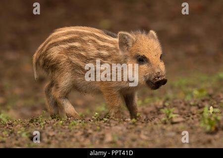 Wildschwein (Sus scrofa), Daun, Rheinland-Pfalz, Deutschland - Stock Photo