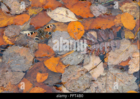 European peacock, october, Bavarian Forest National Park, Germany, (Inachis io) - Stock Photo