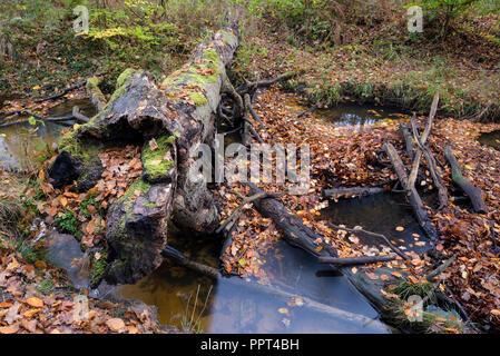 Rotbach, creek in beech forest, november, Oberhausen, Germany - Stock Photo