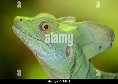 Green basilisk, male, (Basiliscus plumifrons) - Stock Photo