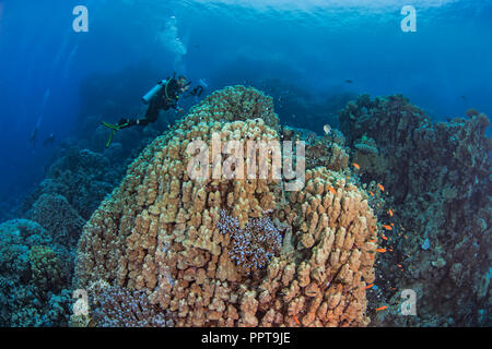Female scuba diver, videophotographer records marine life associated large porite dome coral in a mountainous reef area of the Red Sea. Fury Shoals, 2 - Stock Photo