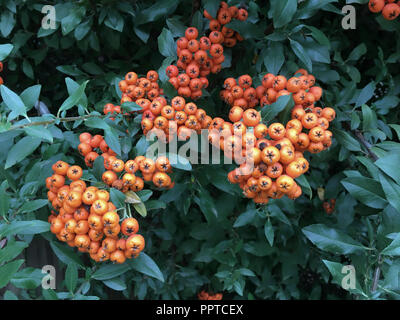 Rowan tree and berries ( Sorbus americana), West Texas - Stock Photo