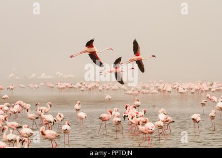 Bird colony with Lesser flamingos (Phoeniconaias minor), above sea, flying, Walvis Bay, Namibia - Stock Photo