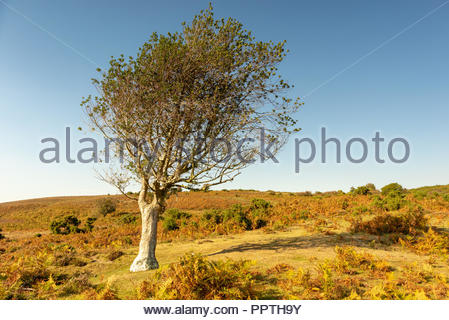 New Forest, Hampshire, UK, 27th September 2018. Unseasonably warm weather in the south of England with a clear blue sky and temperatures reaching 22 degrees. A tree, shaped by the wind, appears to bask in the warm sunshine. Credit: Paul Biggins/Alamy Live News - Stock Photo