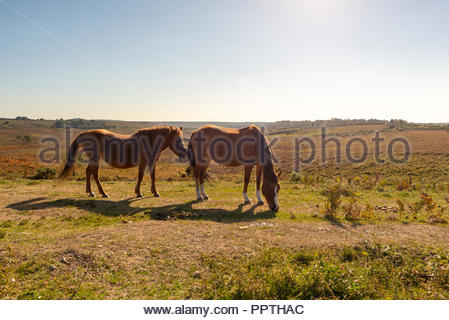 New Forest, Hampshire, UK, 27th September 2018. Unseasonably warm weather in the south of England with bright sunshine, a clear blue sky and temperatures reaching 22 degrees. Two ponies graze on the short grass. Credit: Paul Biggins/Alamy Live News - Stock Photo