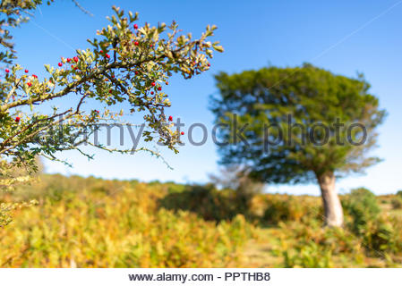 New Forest, Hampshire, UK, 27th September 2018. Unseasonably warm weather in the south of England with bright sunshine, a clear blue sky and temperatures reaching 22 degrees. Red berries adorn the branch of a holly bush. Credit: Paul Biggins/Alamy Live News - Stock Photo