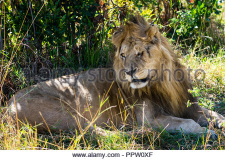 Adult lion with a scarred face, Maasai Mara National Reserve, Kenya - Stock Photo