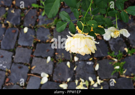 yellow flowers at a rose shrub in city with petals fallen on cobblestone floor - Stock Photo