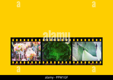 Photographic  negative film strip converted in positive colors on a yellow background.Three photos of plants obtained by a post production effect . - Stock Photo