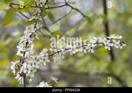 Prunus spinosa, called blackthorn or sloe. Tarnina - Stock Photo