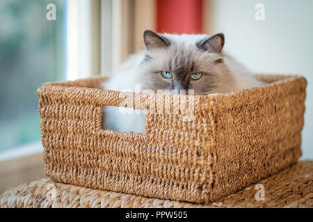 Nice Ragdoll cat, lying in a basket. Developed by American breeder Ann Baker, it is best known for its docile temperament and affectionat nature - Stock Photo