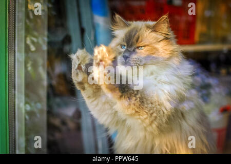 Ragdoll cat wants to go outside but doesn't know a way through the window. The Radgoll is known for its docile temperament and affectionate nature - Stock Photo