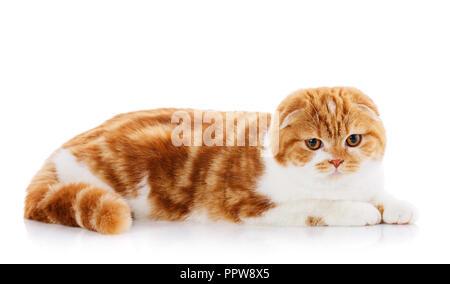 Beautiful purebred fluffy proud cat, kitten portrait of Scottish cat sits on a white background - Stock Photo