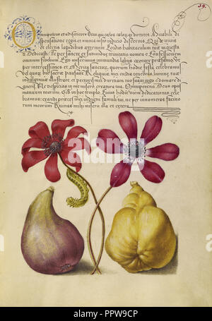 Poppy Anemones, Caterpillar, Fig, and Quince; Joris Hoefnagel, Flemish , Hungarian, 1542 - 1600, and Georg Bocskay Hungarian - Stock Photo