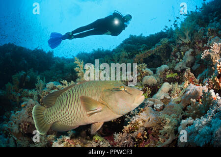 Scuba Diver and Napoleon Wrasse, Cheilinus undulatus, Brother Islands, Red Sea, Egypt - Stock Photo