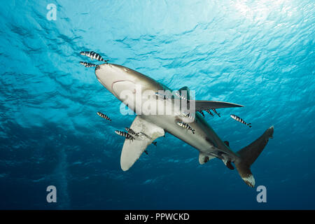 Oceanic Whitetip Shark, Carcharhinus longimanus, Brother Islands, Red Sea, Egypt - Stock Photo