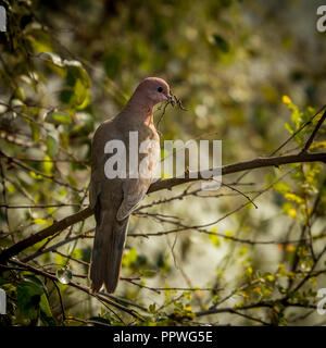 Dove with twigs in mouth at Keoladeo Bird Sanctuary, Rajasthan - Stock Photo