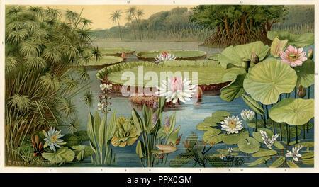 Aquatic plants: 1 Cyperus papyrus (papyrus), 2 Nymphaea stellata (Patma), 3 Sagittaria lancifolia (arrowhead), 4 Pistia stratiotes (shell flower), 5 Victoria regia, 6 Pontederia cordada (water hyacinth), 7 Aponogeton fenestralis (lattice plant), 8 Cabomba aquatica, 9 Aponogeton distachyon, 10 Nymphaea lotus (Egyptian lotus), 11 Nelumbium speciosum (Nelumbo), 12 cocos nucifera (coconut palm), 13th rhizospora mangle (mangrove), - Stock Photo