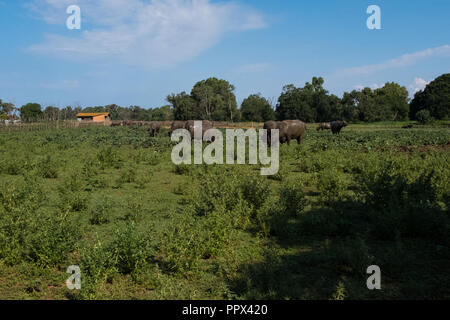 Nature landscape view of a green field with blue sky background of buffaloes used for milk for the production of cheese products like the delicious mo - Stock Photo