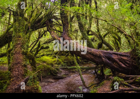 Enchanted Forest, Queulat National Park (Chile) Patagonia - Stock Photo