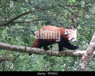 Red Panda, The Highland Wildlife Park, Kingussie, Highland, Scotland - Stock Photo