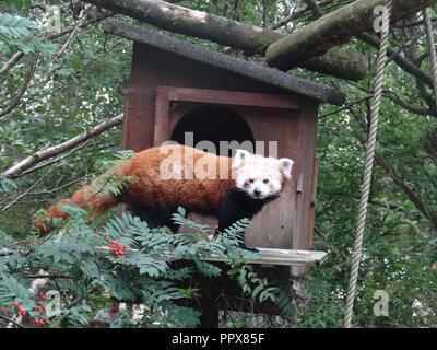 Red Panda, The Highland Wildlife Park, Kingussie, Highland, Scotland - Stock Photo