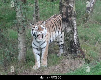 Amur Tiger, The Highland Wildlife Park, Kingussie, Highland, Scotland - Stock Photo
