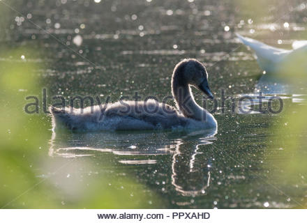 White Mute Swan Cygnet (Cygnus olor) swimming in a lake in early morning bright sun in West Sussex, England, UK. - Stock Photo