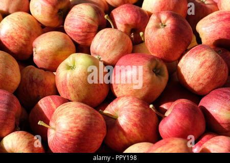 Stocks Farm, Suckley, Worcestershire - September 2018 - Freshly picked Gala apples in the fine Autumn sunshine with local temperatures of 16c - these apples will go to UK supermarkets -  Photo Steven May / Alamy Live News - Stock Photo