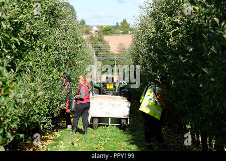Stocks Farm, Suckley, Worcestershire - Friday 28th September 2018 -  EU seasonal workers from Poland and Bulgaria picking Gala apples in the fine Autumn sunshine  - Growers face uncertainty over next years labour force as Brexit negotiations continue. Photo Steven May / Alamy Live News - Stock Photo